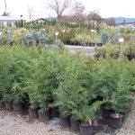 shrubs-plants-7