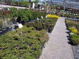 ground-cover-plants-5