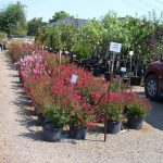 shrubs-plants-11