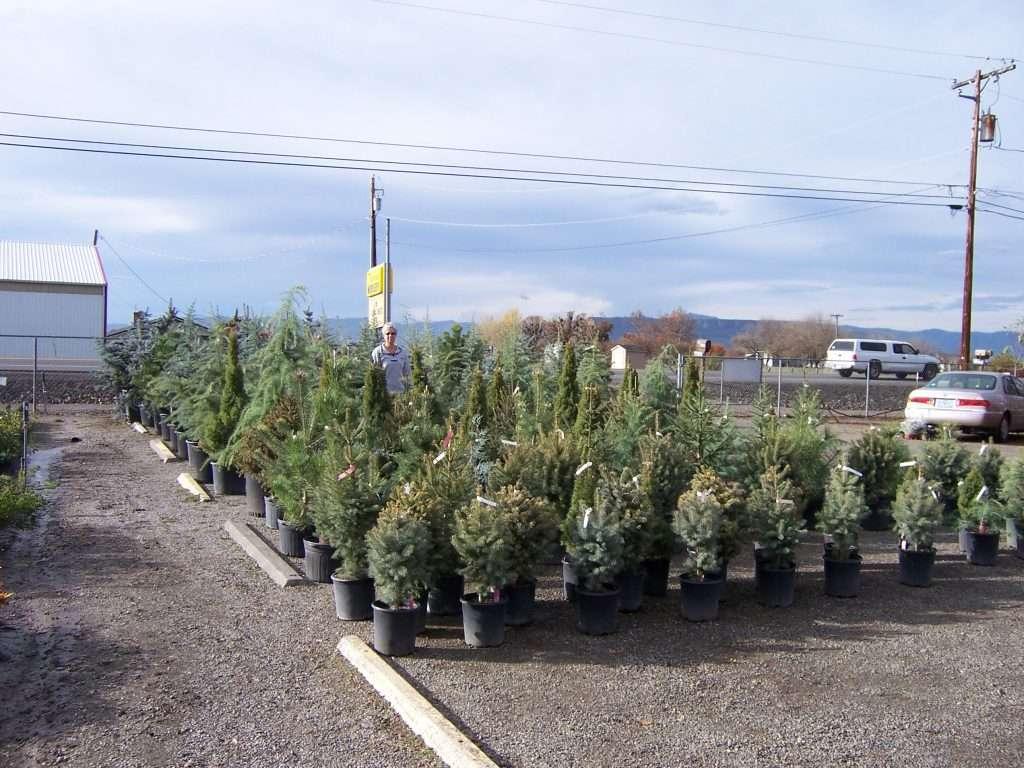 evergreen-trees-3