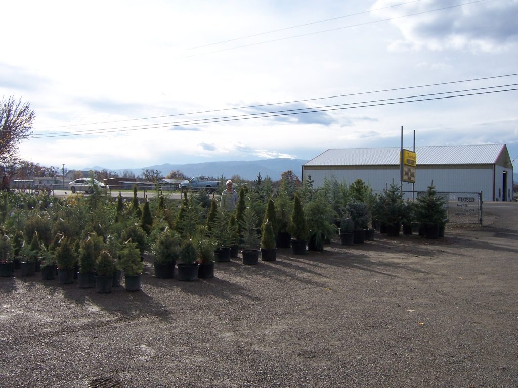 evergreen-trees-4