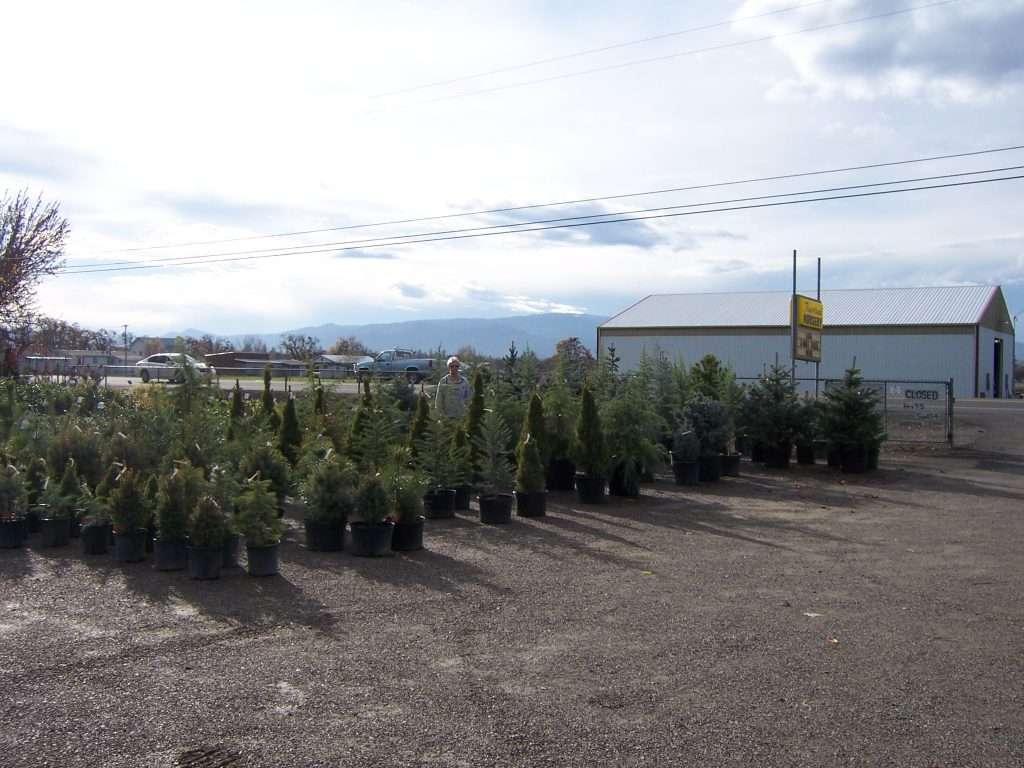 evergreen-trees-7