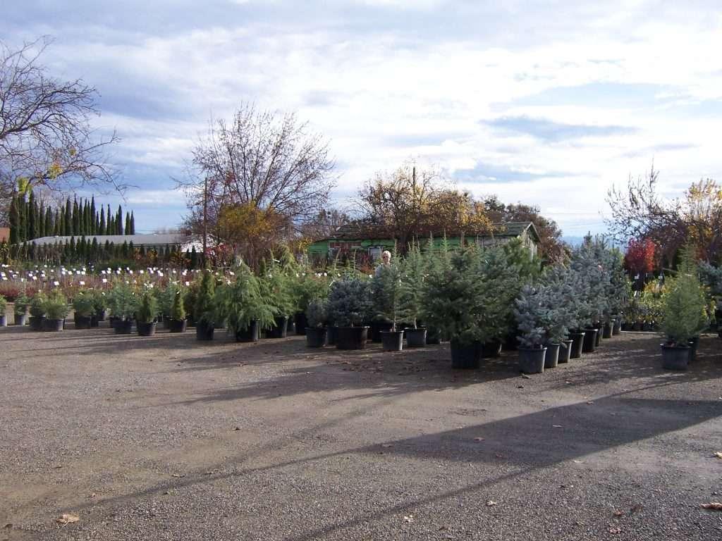 evergreen-trees-6