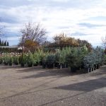 evergreen-trees-6