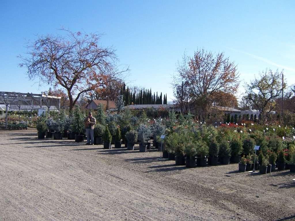 evergreen-trees-16