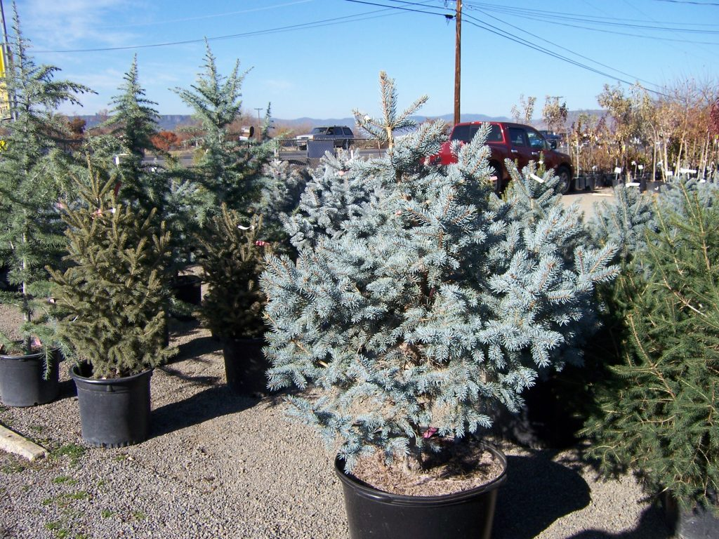 evergreen-trees--11