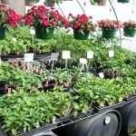 annual-plants