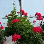 hanging-plants-29