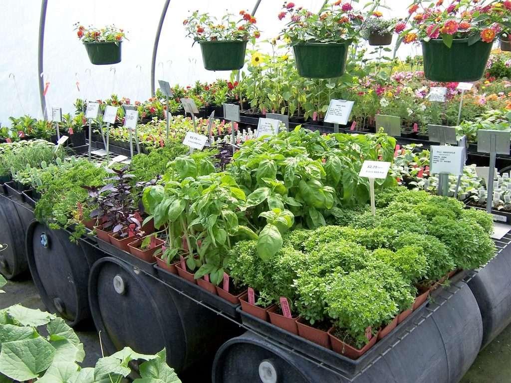 herbs-annuals
