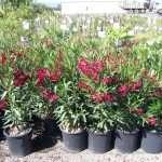 shrubs-plants-14