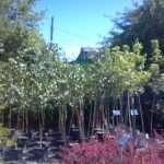 shade-trees-2