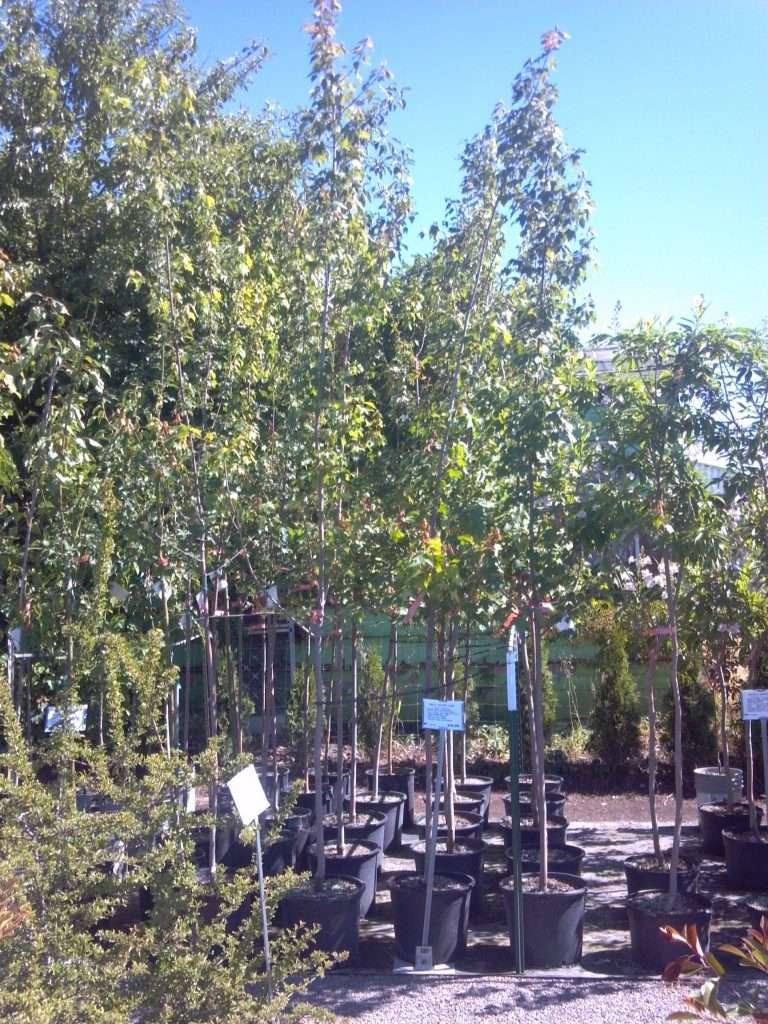 shade-trees-3