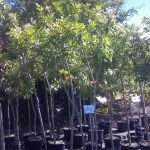 shade-trees-4
