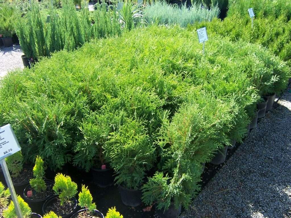 shrubs-plants-13