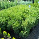 shrubs-plants-13
