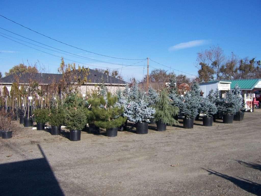 evergreen-trees-14