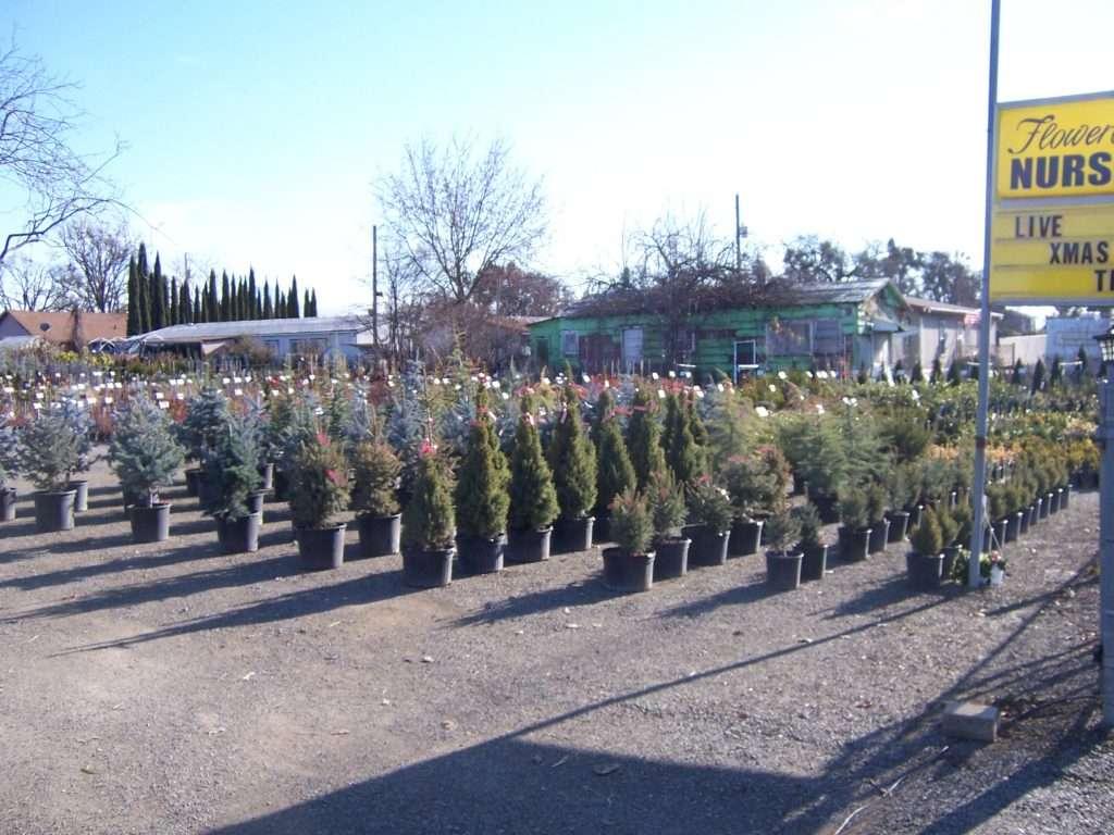 evergreen-trees-15