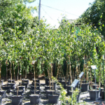 shade-trees-medford