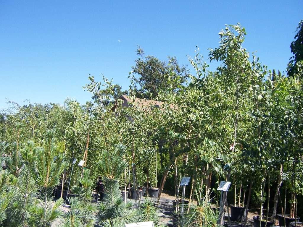 shade-trees-1