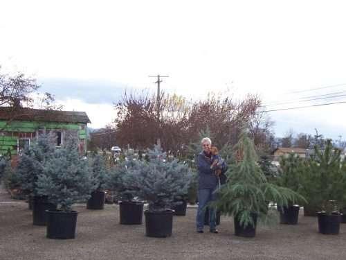 evergreen-trees-